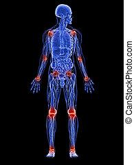 anatomie, joints, mâle, -
