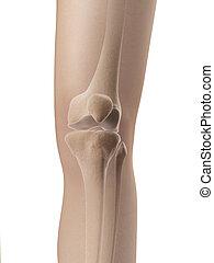 anatomie, jointure genou