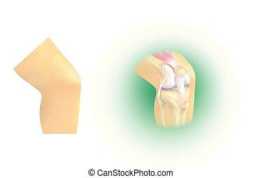 anatomie, jointure, genou