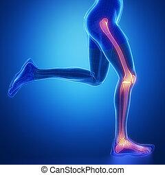 anatomie, jointure, jambe