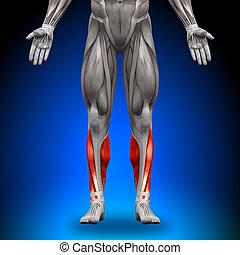 anatomie, kalveren, spierballen, -