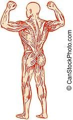 anatomie, lidský, lept, svalnatý systém