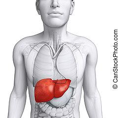 anatomie,  mâle, foie