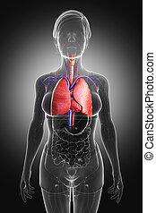 anatomie, mâle, poumons