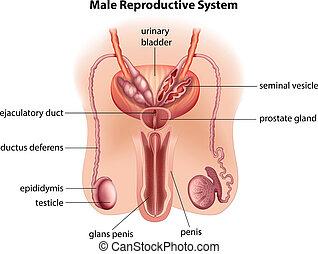anatomie,  mâle, système, reproducteur
