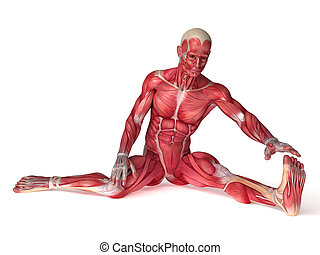 anatomie, mâles, muscles