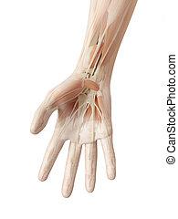 anatomie, main humaine