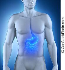 anatomie, mannelijke , maag