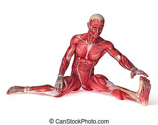 anatomie, mannetjes, spierballen