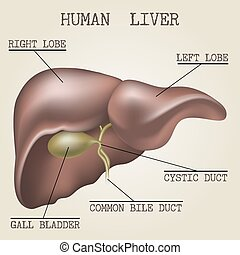 anatomie, menselijk, lever, illustratie