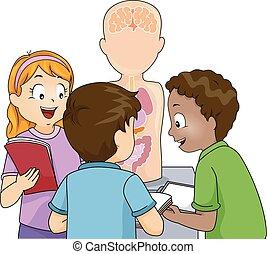 anatomie, modèle, gosses, étude