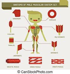 anatomie, mužský, systém, svalnatý