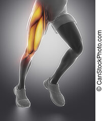anatomie, muscle, cuisse