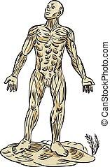 anatomie, muscle, graver, humain