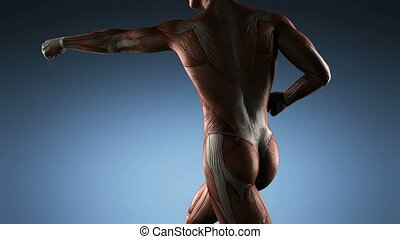 anatomie, muscle, humain