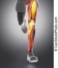 anatomie, muscle, jambe