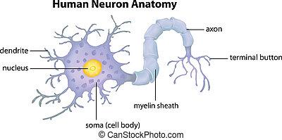 anatomie, neurone, humain