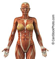 anatomie, o, samičí, čelní, svalnatý systém