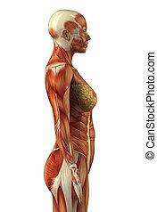 anatomie, o, samičí, svalnatý systém
