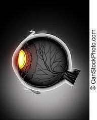 anatomie, oeil, humain