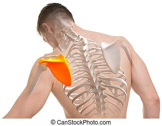 anatomie, omoplate