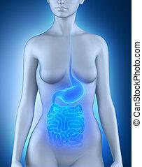 anatomie, organes digestifs, femme