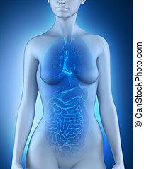 anatomie, organes internes, femme