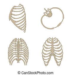 anatomie, os, côtes