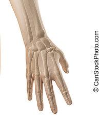 anatomie, os, -, doigts, main