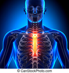 anatomie, os, sternum, -