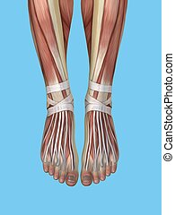 anatomie, pied, ankle.