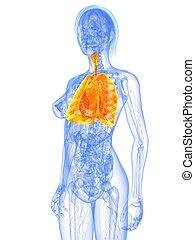 anatomie, -, poumon, femme