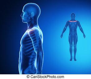anatomie, rayon x, clavicule, balayage os