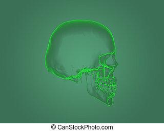 anatomie, rayon x principal