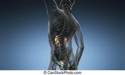 anatomie, reins, humain, balayage