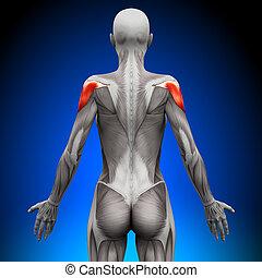 anatomie, schouders, spierballen, -, vrouwlijk
