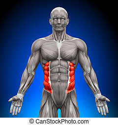 anatomie, schuin, spierballen, -, extern