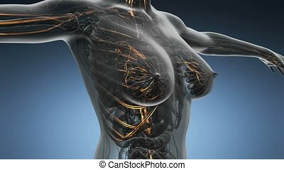 anatomie, science, femme, boucle, balayage