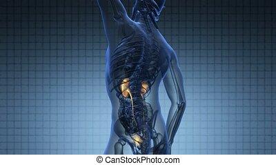 anatomie, science, humain, balayage