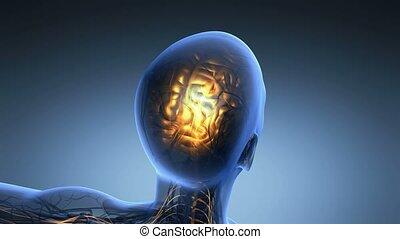 anatomie, science, x, cerveau humain