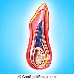 anatomie, scrotal, couche