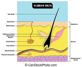 anatomie, section, croix, diagramme, peau humaine