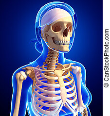 anatomie, squelette, humain