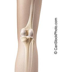 anatomie, squelettique, -, jointure, genou