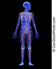 anatomie, -, système lymphatique, femme