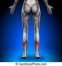 anatomie, tendon, -, mu, femme, achille