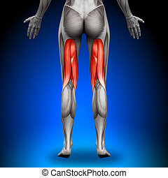anatomie, tendons jarret, muscles, -, femme