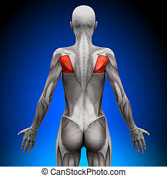 anatomie, teres, muscles, -, femme
