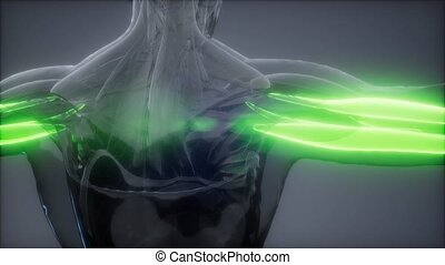 anatomie, triceps, visible, carte, -, muscle