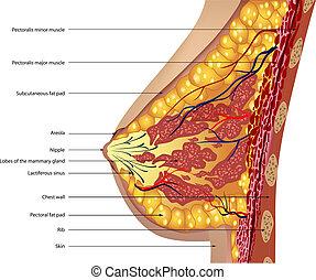 anatomie, van, de, breast., vector